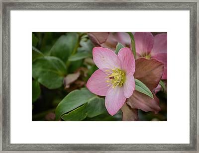Heleborus Framed Print