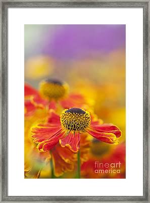 Helenium Waltraut Flowers Framed Print