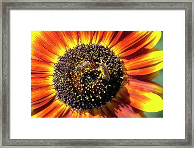 Helianthus Annuus 'solar Eclipse' Framed Print by Brian Gadsby/science Photo Library