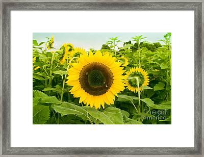 Helianthus - Sunflower Kula Maui Hawaii Framed Print by Sharon Mau