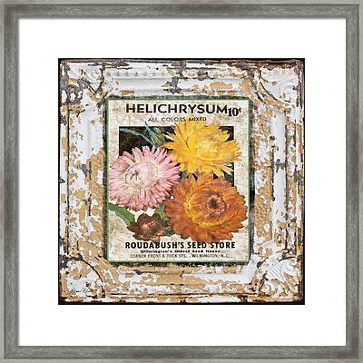 Helichrysum On Vintage Tin Framed Print by Jean Plout