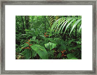 Heliconia And Palms With Green Anole Framed Print by Michael and Patricia Fogden