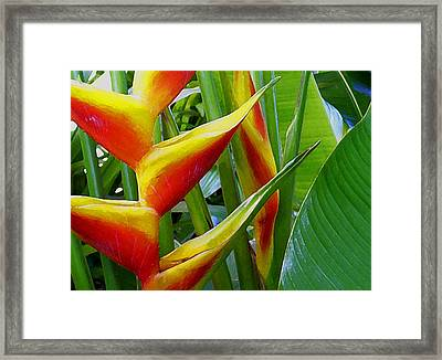 Heliconia Bihai Kamehameha Framed Print by James Temple