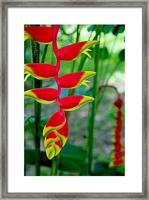 Heliconia--flower In Chiapas Framed Print by Matthew Bamberg