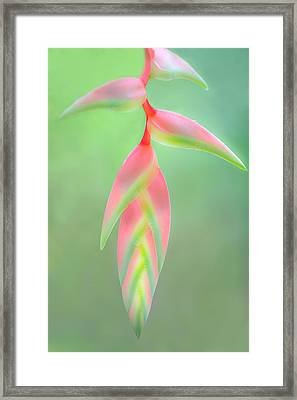 Heliconia Flower, Sarapiqui, Costa Rica Framed Print by Panoramic Images