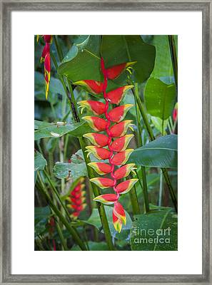 Heliconia Framed Print