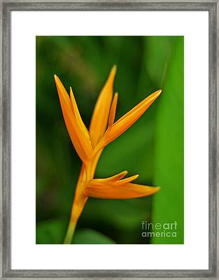 Heliconia Photo Framed Print