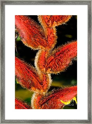 Heliconia Plant Framed Print by William H. Mullins