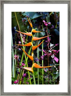 Heliconia Sp. Flowers Framed Print by Tim Holt