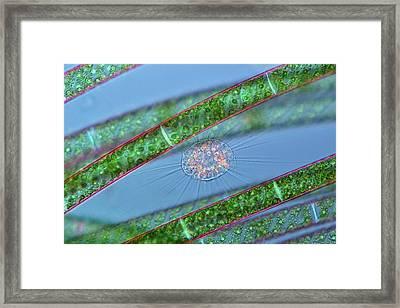 Heliozoan And Alga Framed Print by Marek Mis
