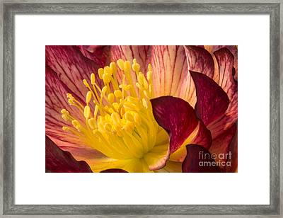 Hellebore Ruby Yellow Glow Framed Print