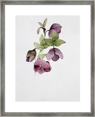 Helleborus Atrorubens Framed Print by Sarah Creswell