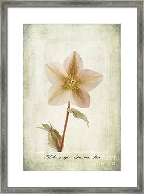 Helleborus Niger Framed Print by John Edwards