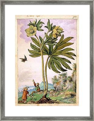 Helleborus Viridis Flowers Framed Print