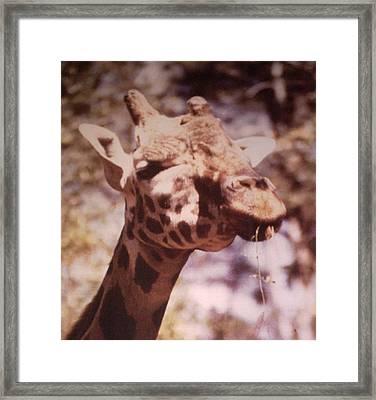 Velvety Giraffe Framed Print by Belinda Lee