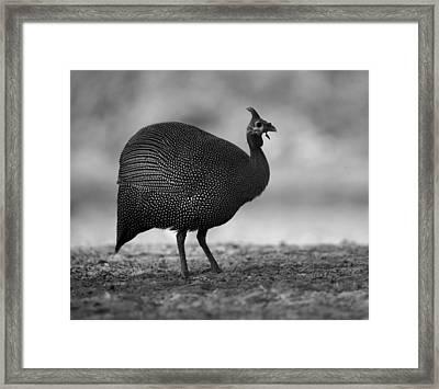 Helmeted Guineafowl Framed Print