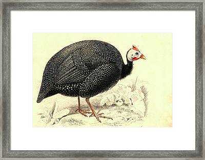 Helmeted Guineafowl Framed Print by Collection Abecasis