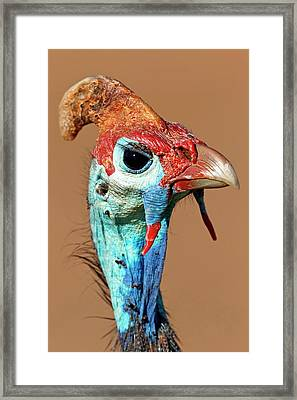 Helmeted Guineafowl Head Framed Print