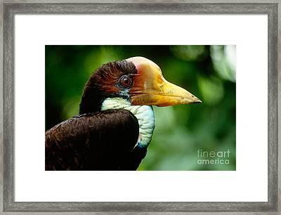 Helmeted Hornbill Framed Print