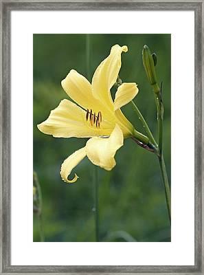 Hemerocallis Lilioasphodelus Framed Print by Dr. Nick Kurzenko