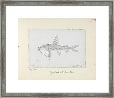 Hemidoras Stenopeltis Framed Print by Natural History Museum, London