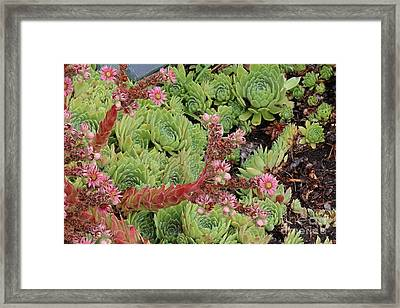 Framed Print featuring the photograph Hen And Chick In Bloom by Ann E Robson