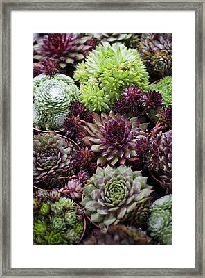 Hen And Chicks Framed Print by Heather Applegate