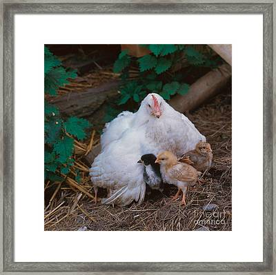 Hen With Chicks Framed Print by Hans Reinhard
