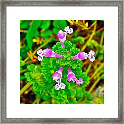 Henbit At Chickasaw Village Site At Mile 262 Of Natchez Trace Parkway-mississippi Framed Print by Ruth Hager