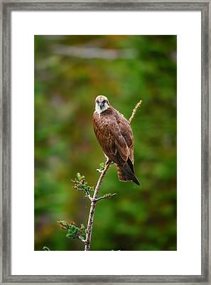 Henry's Fork Osprey Framed Print by Greg Norrell