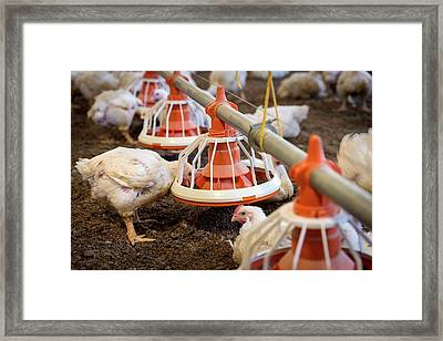 Hens Feeding From A Trough Framed Print