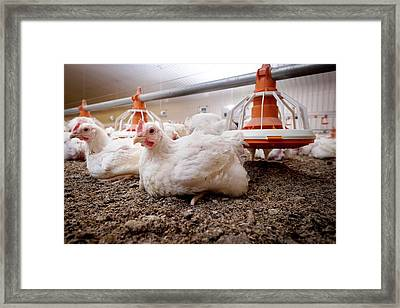 Hens Sitting On A Barn Floor Framed Print