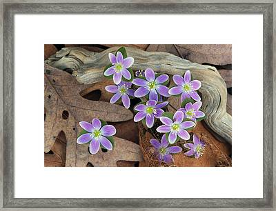 Hepatica Flowers Growing Through Fallen Framed Print by Panoramic Images