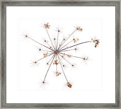 Heracleum Sphondylium Seeds Framed Print by Emmeline Watkins/science Photo Library