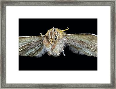 Herald Moth Framed Print by Frank Fox