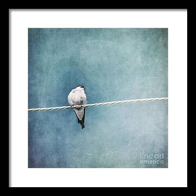 Swallow Framed Prints