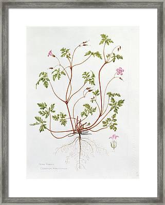 Herb Robert Framed Print by Diana Everett
