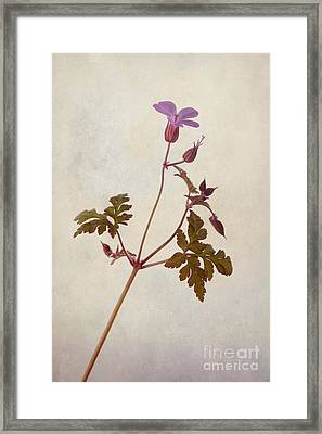 Herb Robert Framed Print by John Edwards