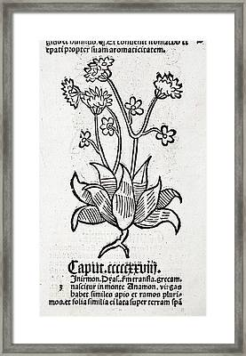 Herbal Plant Framed Print by Paul D Stewart