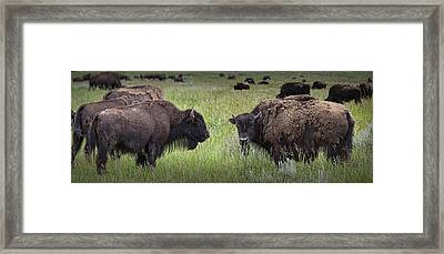 Herd Of American Buffalo Or Bison In Yellowstone Framed Print