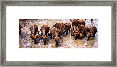 Herd Of Blue Wildebeests Connochaetes Framed Print by Panoramic Images
