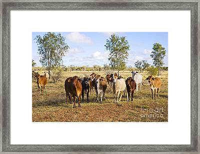 Herd Of Brahman Cattle In Outback Queensland Framed Print by Colin and Linda McKie