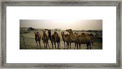 Herd Of Camels In A Farm, Abu Dhabi Framed Print