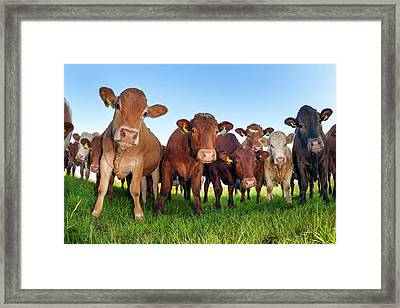 Herd Of Cows Framed Print by Alex Hyde