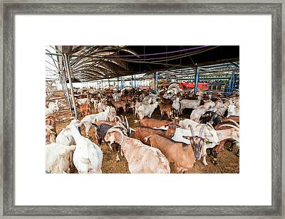 Herd Of Goats Framed Print by Photostock-israel
