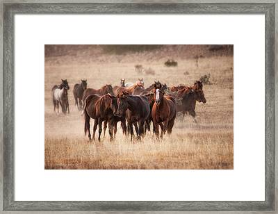 Herd Of Horses In Dry Grasses Of New Framed Print by Sheila Haddad