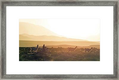 Herd Of Llamas Lama Glama In A Desert Framed Print