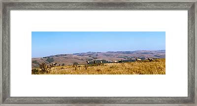 Herd Of Roosevelt Elk Cervus Canadensis Framed Print