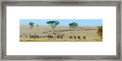 Herd Of Wildebeest And Zebras Framed Print by Panoramic Images