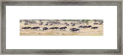 Herd Of Wildebeests Running In A Field Framed Print by Panoramic Images